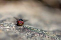 Μακρο φωτογραφία μιας μπλε μύγας σε έναν βράχο στοκ φωτογραφία με δικαίωμα ελεύθερης χρήσης