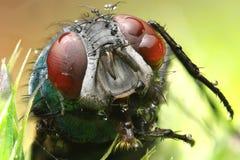Μακρο φωτογραφία μια μύγα Στοκ φωτογραφίες με δικαίωμα ελεύθερης χρήσης