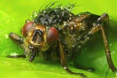 Μακρο φωτογραφία μια μύγα Στοκ Εικόνες