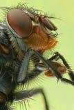 Μακρο φωτογραφία μια μύγα Στοκ Φωτογραφία