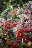 Μακρο φωτογραφία Μούρα που καλύπτονται κόκκινα με το hoarfrost Στοκ Φωτογραφία