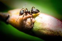 Μακρο φωτογραφία μυρμηγκιών Στοκ φωτογραφία με δικαίωμα ελεύθερης χρήσης