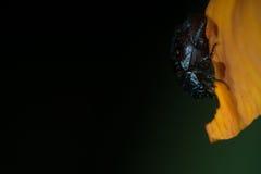 Μακρο φωτογραφία νύχτας κανθάρων Στοκ Εικόνες