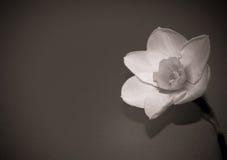 Μακρο φωτογραφία λουλουδιών εγκαταστάσεων άνοιξη daffodil Στοκ Φωτογραφίες