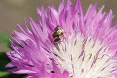 Μακρο φωτογραφία στενού ενός επάνω μελισσών Μια μέλισσα συλλέγει το νέκταρ από το λουλούδι Στοκ Φωτογραφία