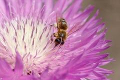 Μακρο φωτογραφία στενού ενός επάνω μελισσών Μια μέλισσα συλλέγει το νέκταρ από το λουλούδι Στοκ Εικόνες
