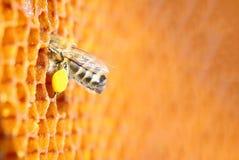 Μακρο φωτογραφία της γύρης μελισσών Μελισσοκομία Apitherapy Στοκ Φωτογραφία