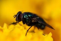 ΜΑΚΡΟ φωτογραφία της μύγας εντόμων Στοκ Εικόνα