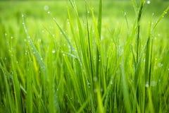Μακρο φωτογραφία της πράσινης χλόης Στοκ Φωτογραφίες