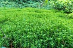 Μακρο φωτογραφία της χλόης Δασική χλόη Πράσινη δασική ανασκόπηση Στοκ Φωτογραφίες