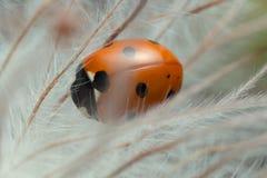 Μακρο φωτογραφία του επτά-σημείου ladybug στις ανθισμένες εγκαταστάσεις Στοκ εικόνα με δικαίωμα ελεύθερης χρήσης