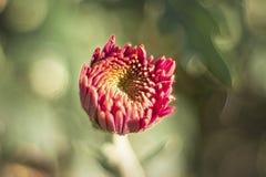 Μακρο φωτογραφία του κόκκινου μισάνοιχτου αστέρα λουλουδιών με τα πράσινα φύλλα στοκ εικόνα