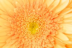 Μακρο φωτογραφία του λουλουδιού gerbera Στοκ Εικόνα