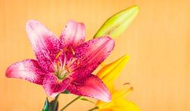 Μακρο φωτογραφία του ρόδινου λουλουδιού κρίνων στο πορτοκαλί υπόβαθρο Στοκ φωτογραφία με δικαίωμα ελεύθερης χρήσης