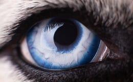 Μακρο φωτογραφία του σιβηρικού γεροδεμένου σκυλιού μπλε ματιών Κλείστε επάνω το μπλε μάτι στοκ εικόνες