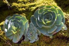 Μακρο φωτογραφία του succulent arboreum Aeonium Λάχανο κρεβατοκάμαρων Στοκ φωτογραφία με δικαίωμα ελεύθερης χρήσης