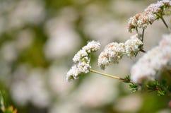 Μακρο φωτογραφία των άσπρων λουλουδιών Στοκ Φωτογραφίες