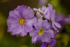 Μακρο φωτογραφία των ιωδών primrose λουλουδιών στοκ εικόνα