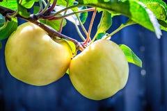 Μακρο φωτογραφία των λίγο κίτρινων μήλων στοκ φωτογραφίες