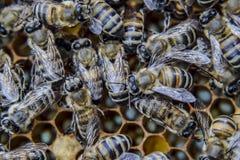 Μακρο φωτογραφία των μελισσών Χορός της μέλισσας μελιού Μέλισσες σε μια κυψέλη μελισσών στις κηρήθρες Στοκ Εικόνα