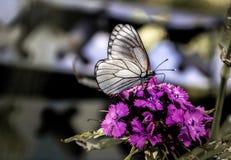 Μακρο φωτογραφία των πεταλούδων στοκ εικόνα με δικαίωμα ελεύθερης χρήσης