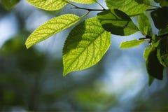 Μακρο φωτογραφία των πράσινων φύλλων με το θολωμένο green-blue υπόβαθρο του φυλλώματος και του ουρανού στοκ φωτογραφίες με δικαίωμα ελεύθερης χρήσης