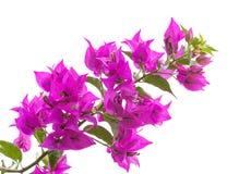 Μακρο φωτογραφία των φωτεινών λουλουδιών Bougainvillea Στοκ φωτογραφία με δικαίωμα ελεύθερης χρήσης