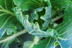 Μακρο φωτογραφία των φύλλων λάχανων στοκ εικόνες