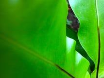 Μακρο φωτογραφία των φύλλων μπανανών στοκ εικόνα με δικαίωμα ελεύθερης χρήσης