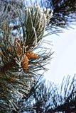 Μακρο φωτογραφία Χειμερινά δασικά, πιό κίτρινα φύλλα, πράσινοι βελόνες πεύκων και κλάδοι των δέντρων που καλύπτονται με τα κρύστα Στοκ εικόνα με δικαίωμα ελεύθερης χρήσης