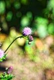 Μακρο φωτογραφία Όμορφο ρόδινο πορφυρό λουλούδι Στοκ Εικόνα