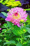 Μακρο φωτογραφία Όμορφο ρόδινο πορφυρό λουλούδι Στοκ εικόνες με δικαίωμα ελεύθερης χρήσης