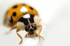 Μακρο φωτογραφία Ladybug Στοκ φωτογραφίες με δικαίωμα ελεύθερης χρήσης