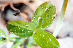 Μακρο φωτογραφία trehlistnik του πράσινου τριφυλλιού άνοιξη με τις πτώσεις της δροσιάς, ιρλανδικό σύμβολο τριφυλλιού του ST Πάτρι Στοκ φωτογραφία με δικαίωμα ελεύθερης χρήσης