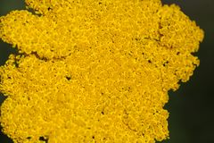 Μακρο φωτογραφία yarrow fernleaf των λουλουδιών Στοκ Εικόνες