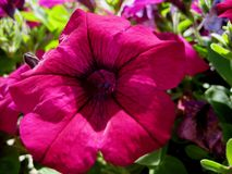 Μακρο φωτογραφίες με τα φωτεινά όμορφα λουλούδια της πετούνιας για τον εξωραϊσμό στοκ εικόνες