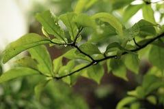 Μακρο φύλλα Magnolia κρίνων με τις σταγόνες βροχής Στοκ Φωτογραφία