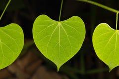 Μακρο φύλλα της αμπέλου Στοκ φωτογραφία με δικαίωμα ελεύθερης χρήσης