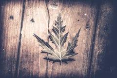 Μακρο φύλλο σφενδάμου Στοκ φωτογραφία με δικαίωμα ελεύθερης χρήσης