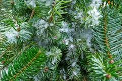 Μακρο χιόνι φύλλων δέντρων έλατου Χριστουγέννων πραγματικό στοκ φωτογραφίες με δικαίωμα ελεύθερης χρήσης