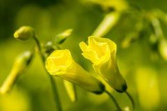 Μακρο δύο sorrel λεπτομέρειας λουλούδια Στοκ φωτογραφία με δικαίωμα ελεύθερης χρήσης