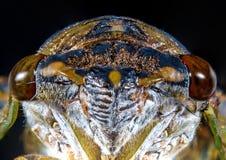 Μακρο Cicada κινηματογραφήσεων σε πρώτο πλάνο ακρίδα στοκ φωτογραφία με δικαίωμα ελεύθερης χρήσης