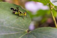 Μακρο grasshopper ζωντανό στα φύλλα της χλόης Στοκ φωτογραφίες με δικαίωμα ελεύθερης χρήσης