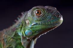 Μακρο iguana Στοκ Εικόνες