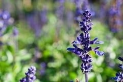 Μακρο lavender, κινηματογράφηση σε πρώτο πλάνο των πορφυρών λουλουδιών στον κήπο/μακροεντολή του πορφυρού λουλουδιού στο δάσος Στοκ Φωτογραφίες