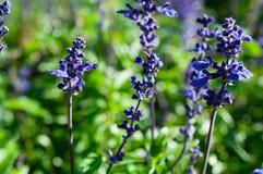 Μακρο lavender, κινηματογράφηση σε πρώτο πλάνο των πορφυρών λουλουδιών στον κήπο/μακροεντολή του πορφυρού λουλουδιού στο δάσος Στοκ εικόνες με δικαίωμα ελεύθερης χρήσης