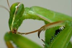 μακρο mantis Στοκ φωτογραφία με δικαίωμα ελεύθερης χρήσης