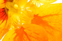 μακρο nasturtium Στοκ Εικόνες