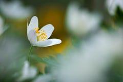 μακρο nemorosa λουλουδιών anemone ακραίο Στοκ Εικόνες