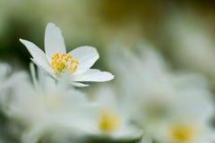 μακρο nemorosa λουλουδιών anemone ακραίο Στοκ Φωτογραφία